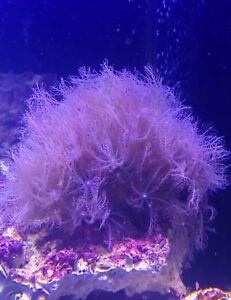 Reef corals aquarium