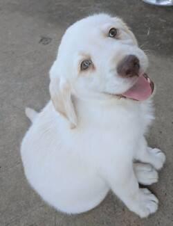 Labradoodle Puppy!!