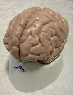 Used 3b Scientific Classic Human Brain Model 5 Part Anatomical Model Anatomy