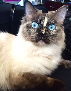 MISSING: Bailey my ragdoll cat Madeley Wanneroo Area Preview