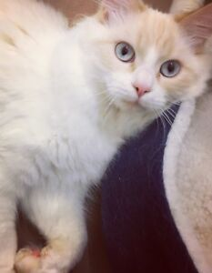 Ragdoll male looking for new home today