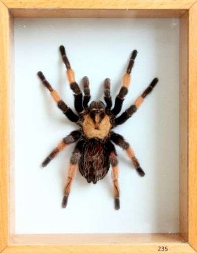 Unique Real Tarantula (Mexican Red Leg) Taxidermy - Mounted,Framed