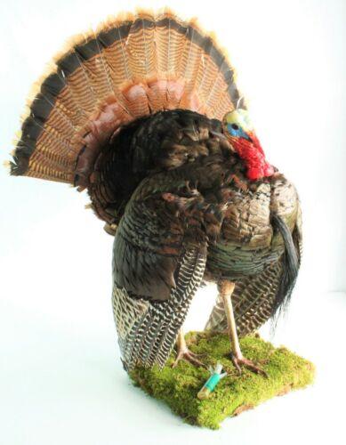 "Eastern Wild Turkey Gobbler Taxidermy KENTUCKY RECORD ""Full Strut"" Mount"