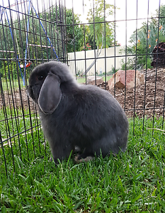 10 Month old pure breed mini lop buck- litter trained Beldon Joondalup Area Preview