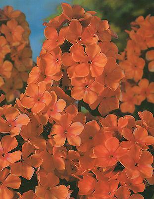 """Hoher Phlox paniculata White  Flammenblume /""""3 Wurzelstöcke/"""" Winterhart"""