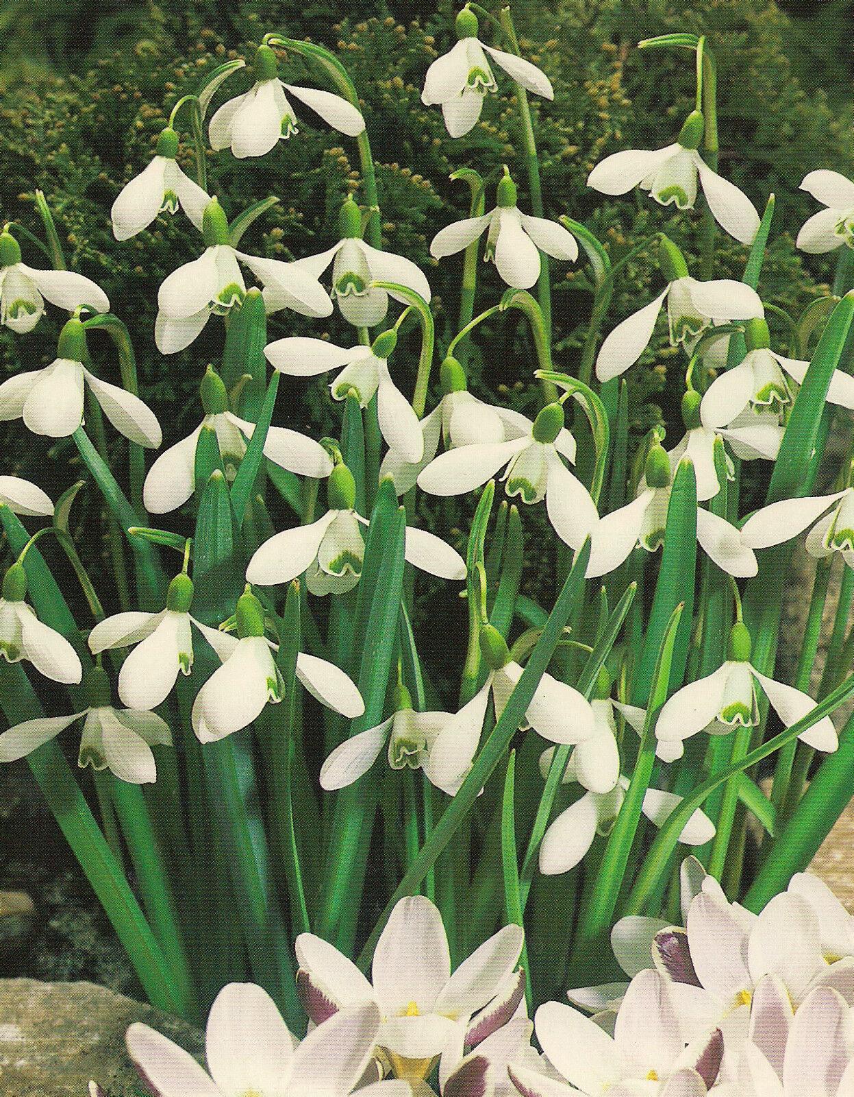 10, 25 oder 50 Schneeglöckchen Galanthus Blumenzwiebeln