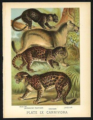 PANTHER, COUGAR, JAGUAR, Vintage 1897 Chromolithograph Print, Antique, 009