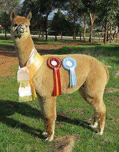 STUD MALE ALPACA FOR SALE Millendon Swan Area Preview