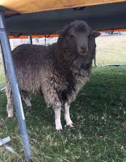 1 Year Old Male Sheep