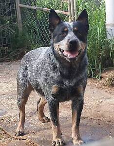PUREBRED PEDIGREE AUSTRALIAN CATTLEDOGS - BLUE HEELERS Kingswood Penrith Area Preview