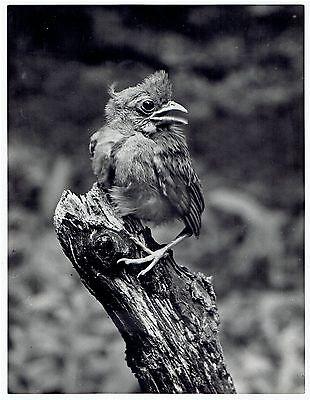 1944 Original Photo by HUGH HALLIDAY candid of Kentucky Cardinal Bird perched