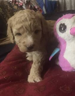 Two gorgeous Female Cavoodle