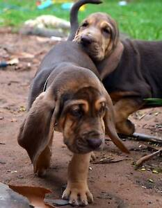Pedigree  Bloodhounds with papers Adelaide CBD Adelaide City Preview