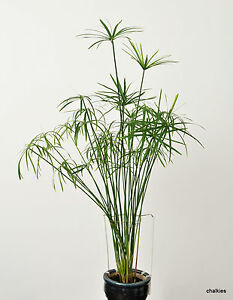 Umbrella Plant (Cyperus Alternifolious) Seeds x 10 FRESH STOCK
