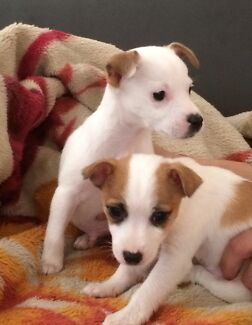 Chihuahua x jack Russell puppies Melton West Melton Area Preview
