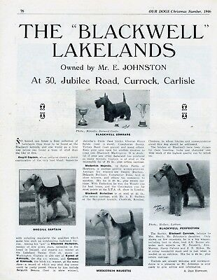 LAKELAND TERRIER DOG BREED KENNEL ADVERT PRINT PAGE OUR DOGS 1946 BLACKWELL