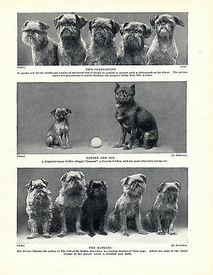 BRUSSELS GRIFFON DOGS VARIOUS IMAGES OLD ORIGINAL DOG PRINT PAGE FROM 1934