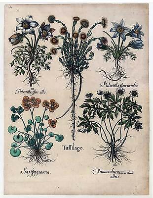 Hortus Eystettensis-Tuffilago-Pulsatilla-Ranunculus-Kupferstich 1640 Besler