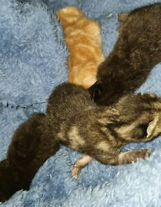Kittens Free to Great Home available 11 March