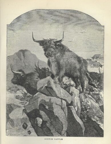 Vintage, 1872,  SCOTCH CATTLE, COW,  Art Print 148 YEARS OLD
