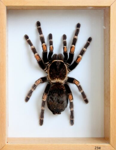 Unique Real Tarantula (Mexican Flame Knee) Taxidermy - Mounted,Framed