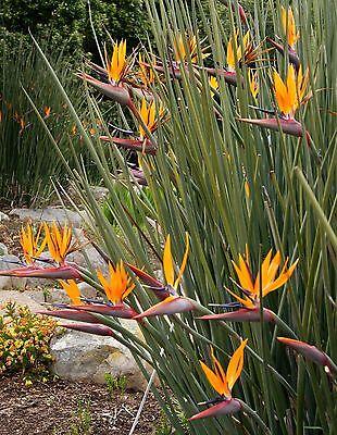 Strelitzia juncea Bird of Paradise 6 seeds