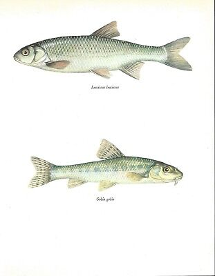 Beautiful Dace & Gudgeon Fish Book Print / Plate on Paper. 40+ years old