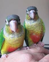 Baby Green Cheek Conures Hand Fed/Raised  11 Weeks Old Boronia Knox Area Preview