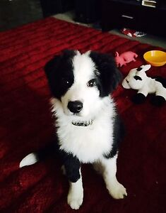 Olly the Border collie Paralowie Salisbury Area Preview