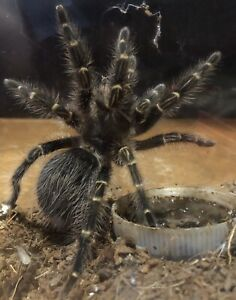 Grammostola pulchripes (Pending pickup)