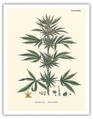 Cannabis Sativa   Sowerby 1883 Vintage Hand Colored Illustration Fine Art Print