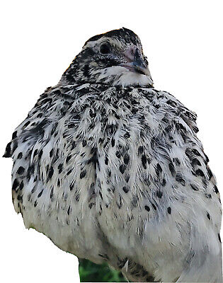 Rare Quail Hatching Eggs - Falb Fee- 24 Eggs