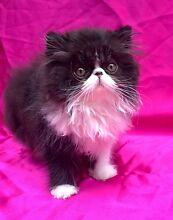 Pedigree Persian Kitten West Perth Perth City Preview