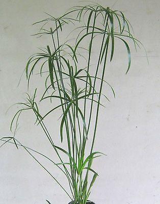 Zyperngras, Cyperus alternifolius, dekorative Zimmerpflanze (Dekoratives Gras)
