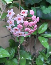 Pink Hoya plants Bull Creek Melville Area Preview