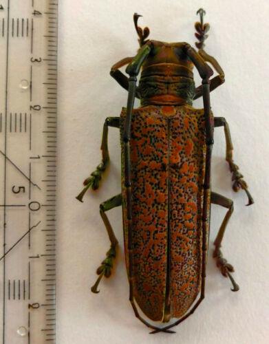 Cerambycidae, Apriona marcusiana, W.-Malaysia, very rare, 54 mm, A1