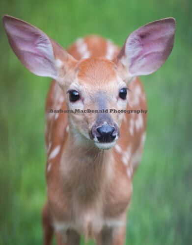 """Baby Deer Photograph Glossy Vertical Professional Print 14"""" Tall x 11"""" Wide Fawn"""