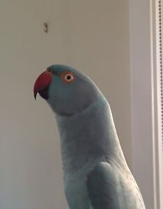 Lost blue Indian ring neck Mardi Wyong Area Preview