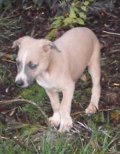 Whippet puppies pure bred Trafalgar Baw Baw Area Preview