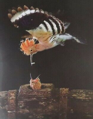 Hummingbird Feeding Young  - 3D Lenticular Poster --12x16 Print