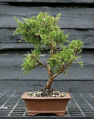 Pre Bonsai Tree Itoigawa Shimpaku Juniper SJI-304D Shimpaku Bonsai Tree