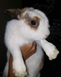 2 Dwarf Rabbits, 1 boy, 1 girl Warragamba Wollondilly Area Preview