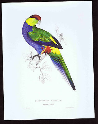Red-Capped Parakeet, Platycercus Pileatus -Edward Lear  - Color Bird Print