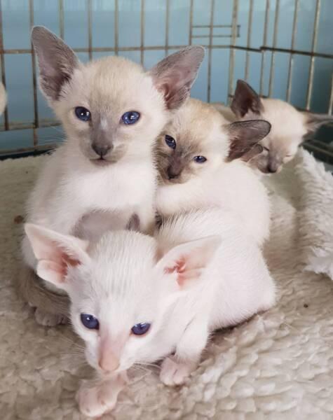 burmilla balinese siamese fluffy kitten pictures www