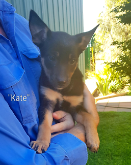 Kelpie Puppies - Vaccinated, Wormed and Microchipped