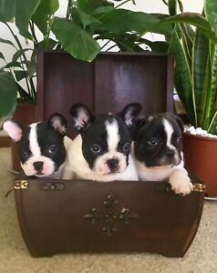 Purebred French Bulldog pups
