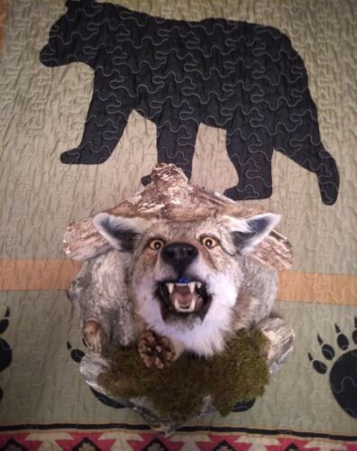 Aggressive Mean Looking Wyoming Coyote Mount Taxidermy