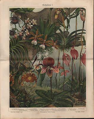 Chromo-Lithografie 1909: Orchideen - Orchidaceae I/II. Blumen Pflanzen