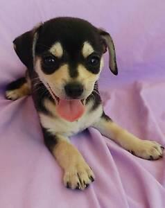 Chihuahua Puppy Cardiff Lake Macquarie Area Preview