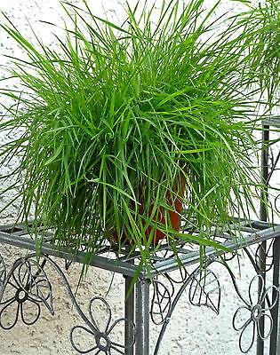 Katzengras Straußgras Samen f. Töpfe  Hängeampel Bodendecker winterhart Agrostis
